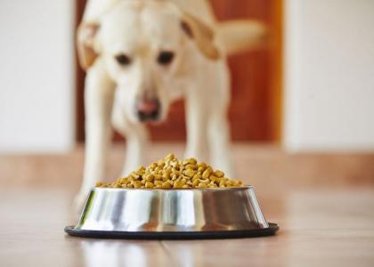 Labrador eating dog food